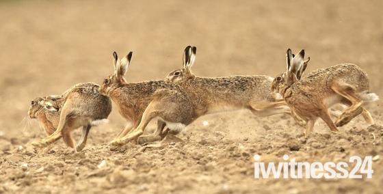 Hares on the run