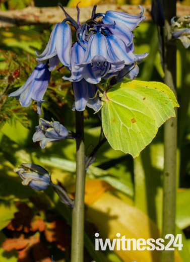 Female Brimstone Butterfly at Uphill Nature Reserve