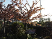 Trees in blossom by the footpath next to subway on the approach to the Exmouth Railway Station and M & S Foodhall.