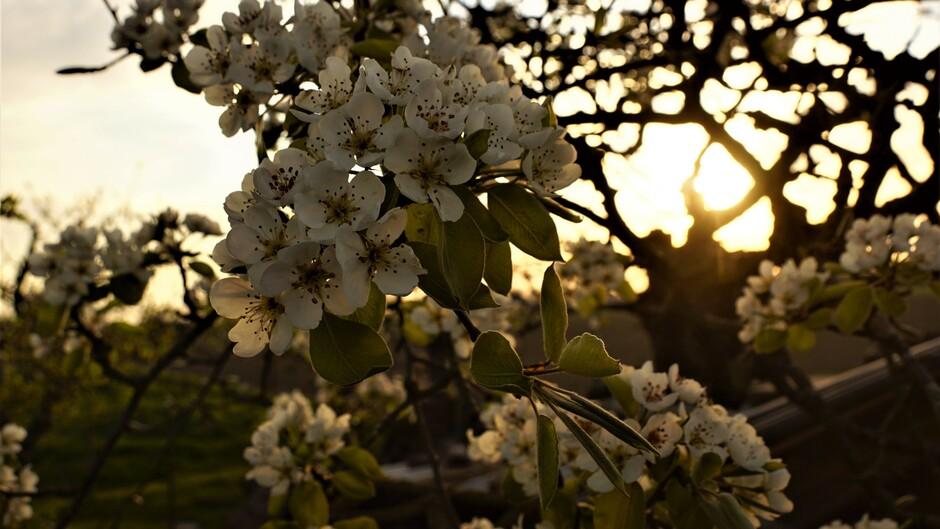 zonsopkomst en perenbloesem 4 gr