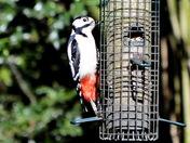 Great spotted woodpecker female