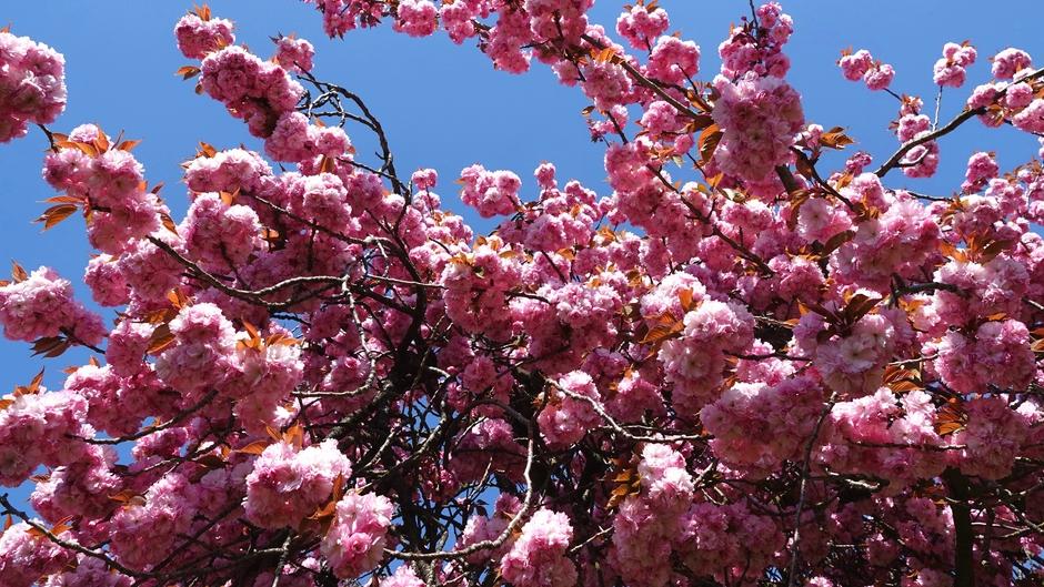 De Japanse Sierkers staat weer prachtig in bloei