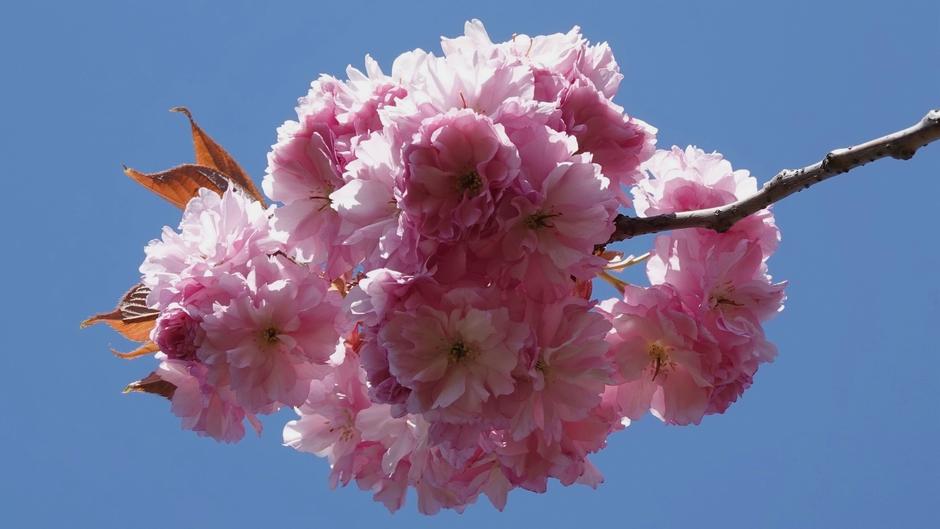 Japanse Sierkers staat weer volop in bloei