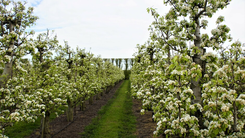 zon bewolkt 9 gr prachtige perenbloesem in de boomgaard
