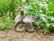 GOOSE AND GOSLINGS AT PENSTHORPE