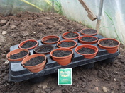 Sunfliower seeds sown in pots