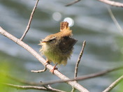 Beautiful wren feeling windswept