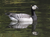 Barnacle goose on river Wensum Norwich
