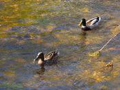 Two little ducks.