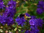 Orange bottom bumble bee