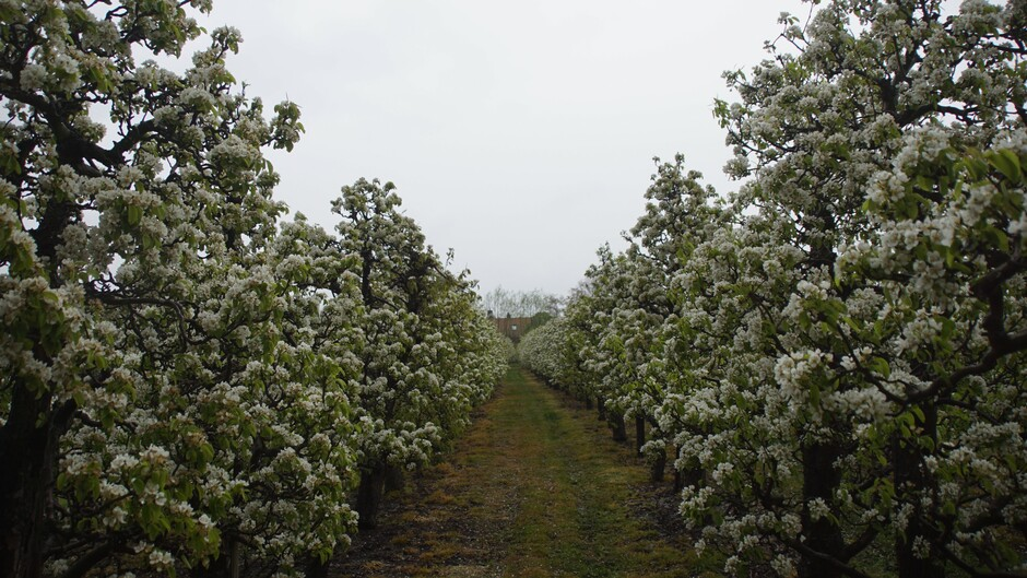 grijs en regenachtig weer in de boomgaard met perenbloesem 6 gr