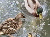 The new duckling