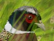 pheasent