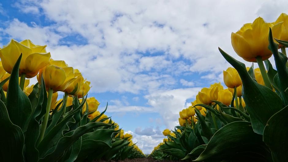 Wolken en zon boven het tulpenveld