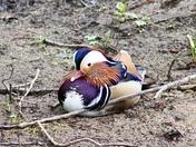 Beautiful Mandarin Ducks
