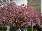 Cherry Blossom on Pudding Lane Norwich