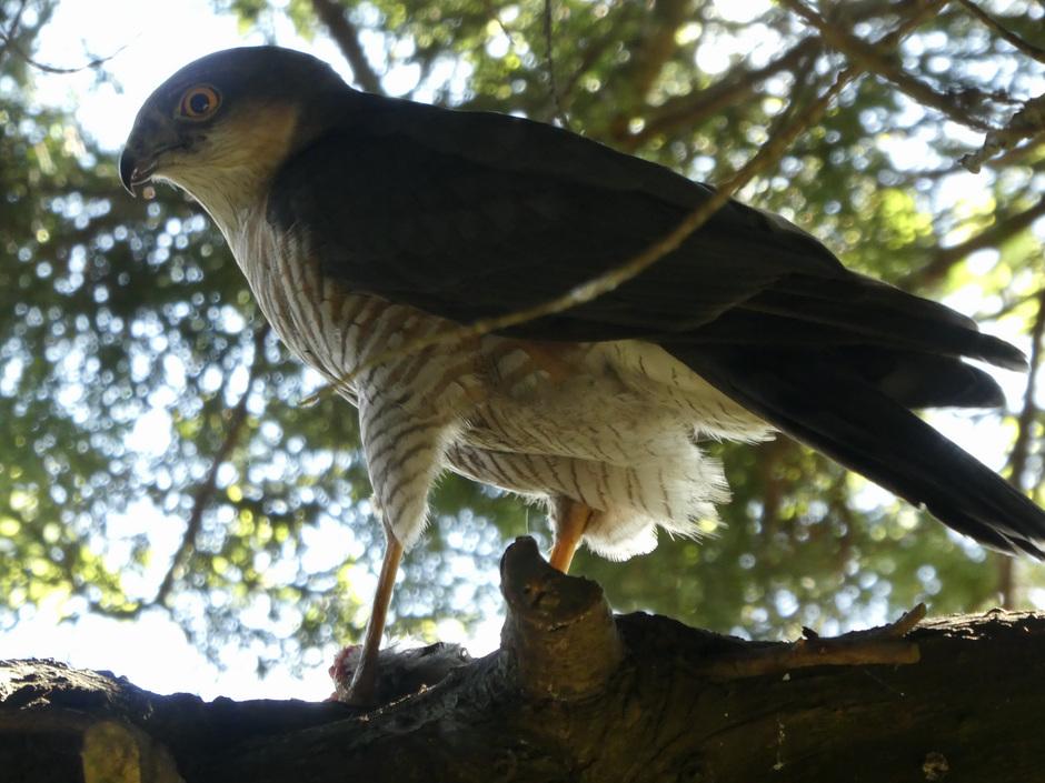 Sperwerman in onze boom