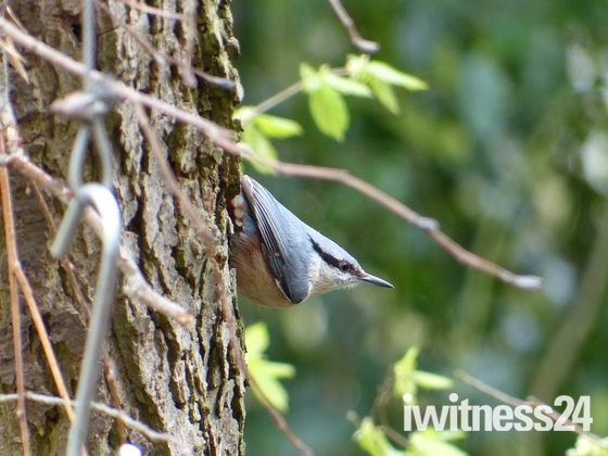 NUTHATCH IN THE  WOODS AT PENSTHORPE