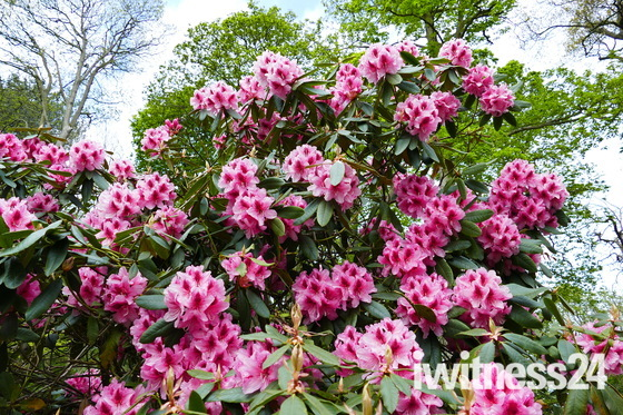 PRETTY RHODODENDRON AT SHERINGHAM PARK