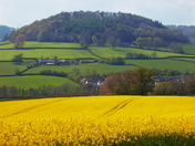 The fields turn yellow at Buckley, East Devon.