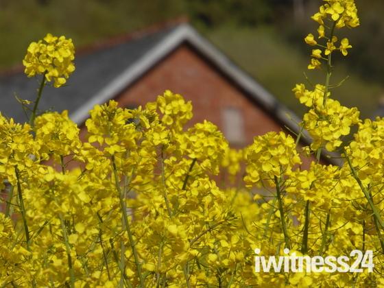 The fields turn yellow at Buckley, East Devon.