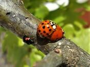 Ladybird Watch !