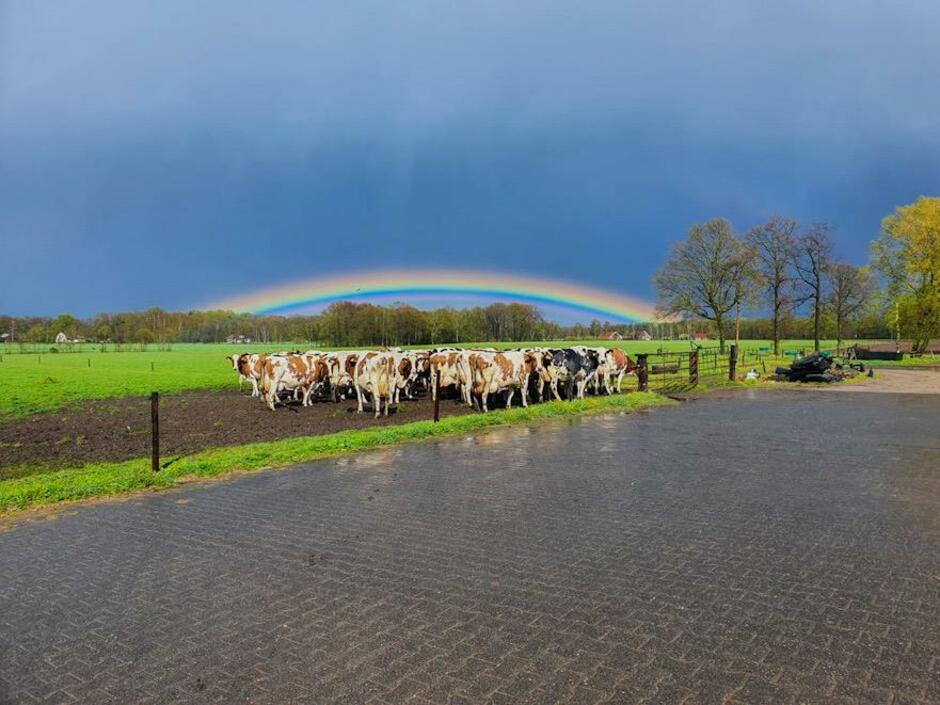 Koppeltje koeien onder een schitterende regenboog.