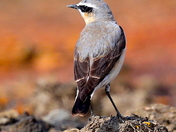 A beautiful Wheatear up on the airfield.