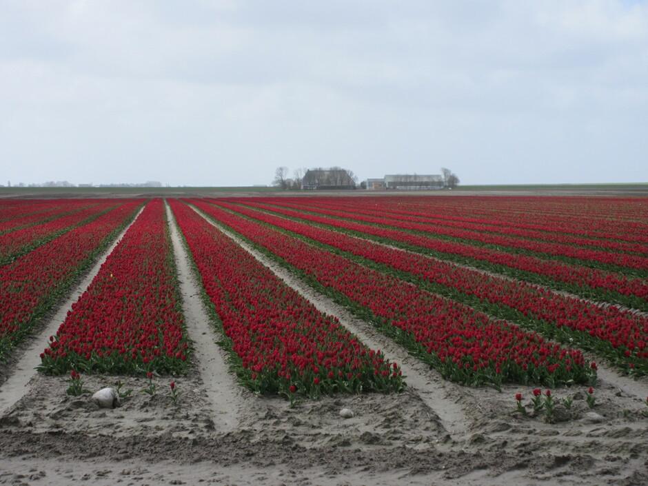 Tulpen staan er mooi bij, ondanks het onstuimige weer