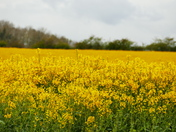 RAPESEED IN BLOOM AT SHEREFORD