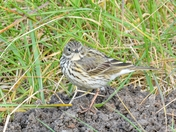 meadow pipit ; nwt cley marsh.