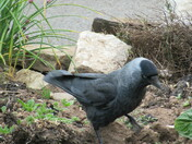 Jackdaw in allotment