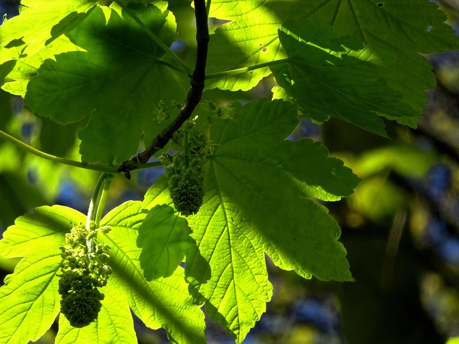 Jong groen blad in de zon