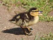 Lound Pond Ducklings