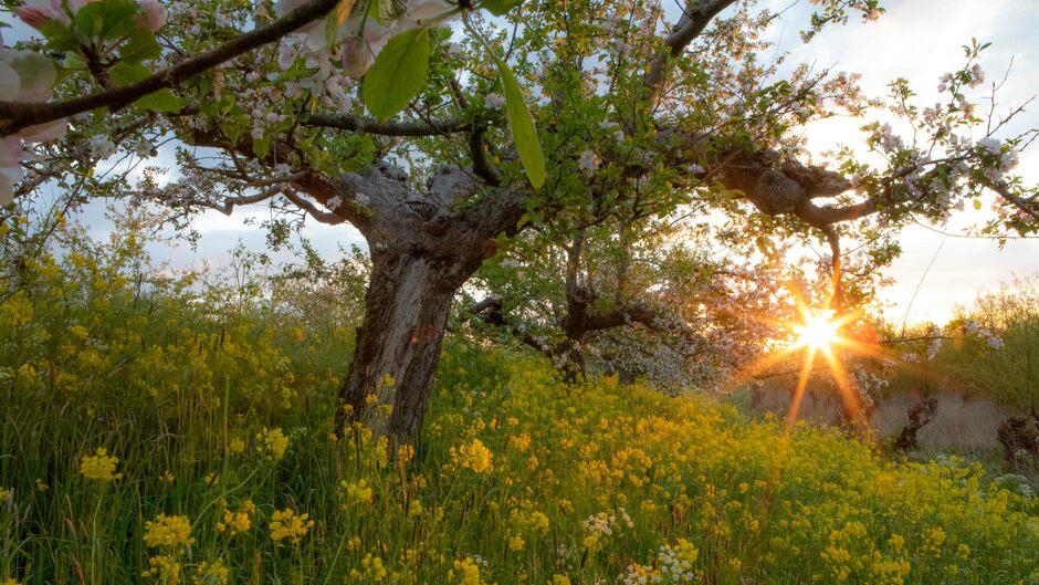 Bloesem, raapzaad en zon aan de Appeldijk