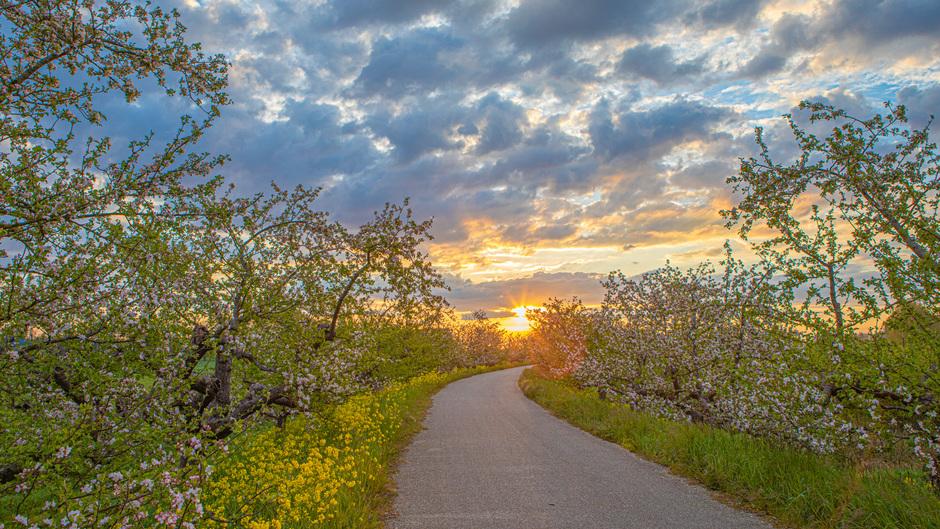 Bloesem, raapzaad, wolken en zon aan de Appeldijk vanmorgen in Beesd