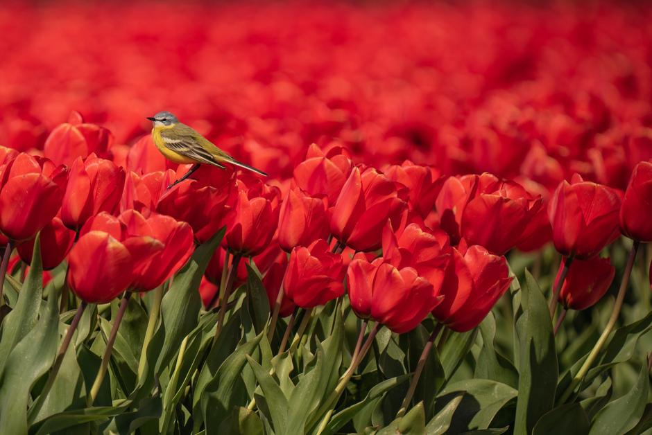Gele kwikstaart geniet van een heel minimaal zonnetje op de rode tulpen