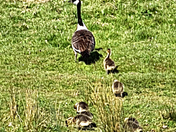 Canada Goose & Family (British Born Chicks)
