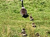 Canada Goose & Family (British Born Chicks)