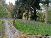 Bluebells in Arger Fen