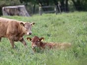 Calves in Washbrook