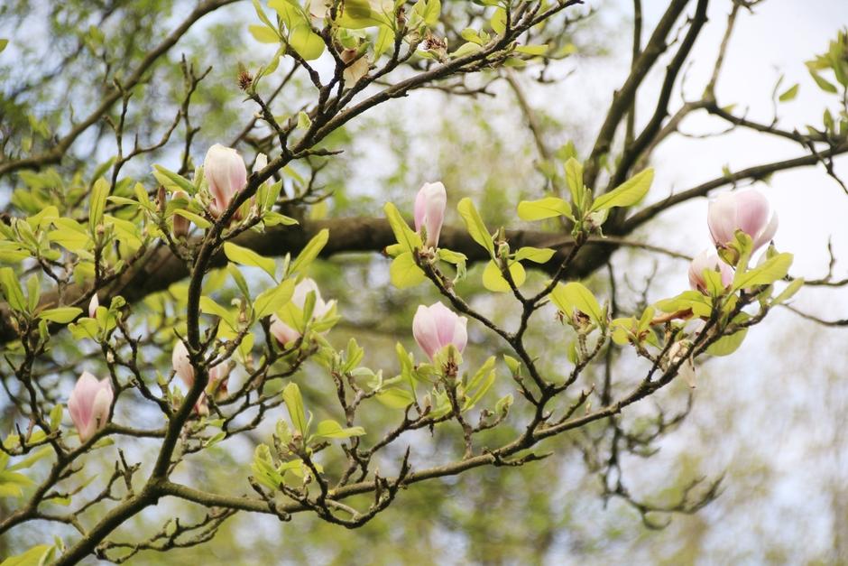 Prachtige magnoliaboom