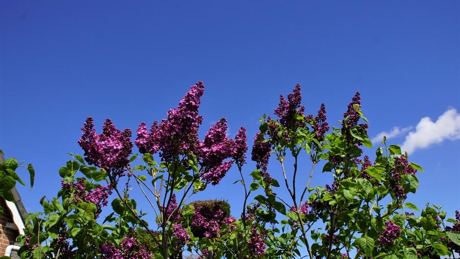 zon blauwe lucht 16 gr seringen in bloei