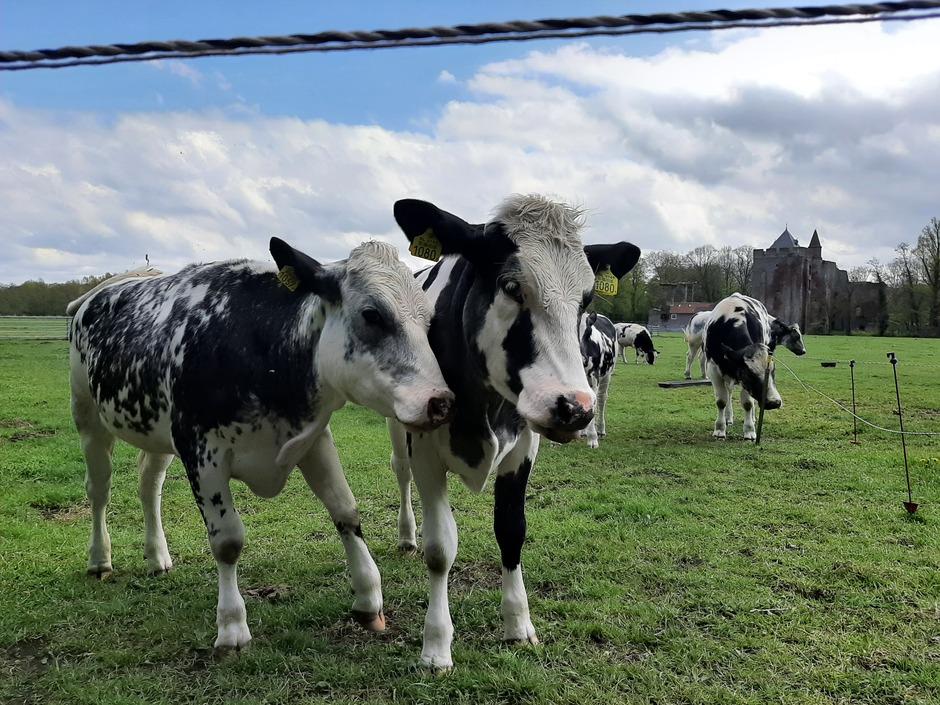 Koeien gezellig bijelkaar