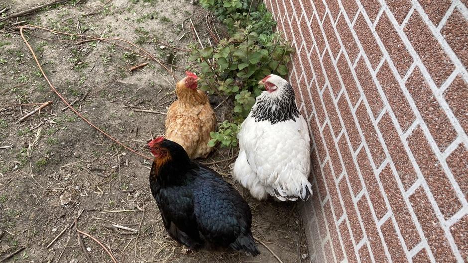 De kippen hebben een gezellig onderonsje
