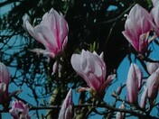 Magnolia tree in Sidmouth