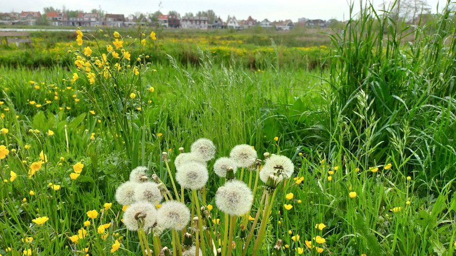 Paardebloemen in het veld