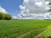 Lovely green Spring crops at Bower house Farm Polstead