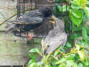 The starling family