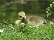 Gorgeous Canadian Geese Goslings basking in the afternoon sun at Spring Walk Thetford on the  12/05/2021